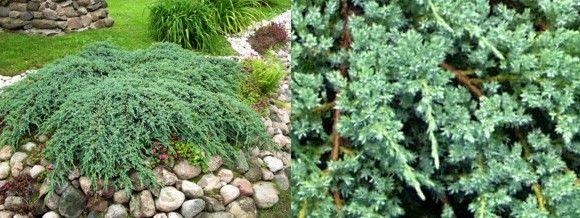 himalajankataja - Juniperus squamata 'Blue Carpet'