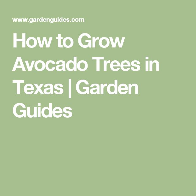 How to Grow Avocado Trees in Texas | Garden Guides