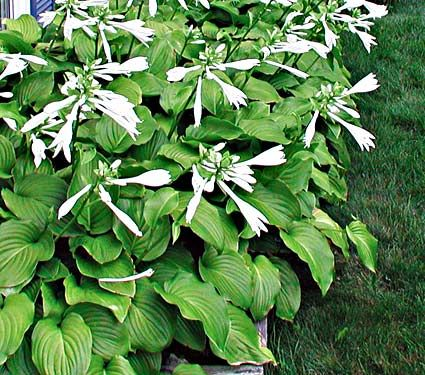 Hosta 'Aphrodite' -  has large, pure white, intensely fragrant flowers that open in late summer on 2ft stems. Try it along a sheltered path where you can take in the heady fragrance.
