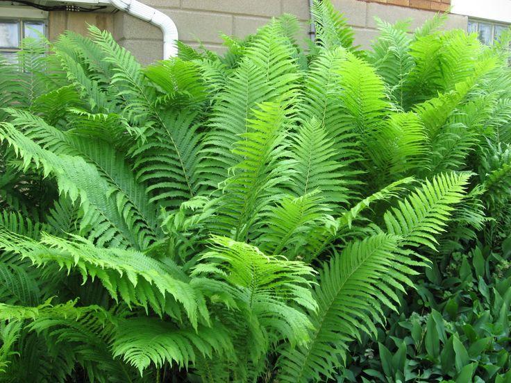 Do Ferns Grow Under Oak Trees : On shade garden japanese painted fern and hosta gardens