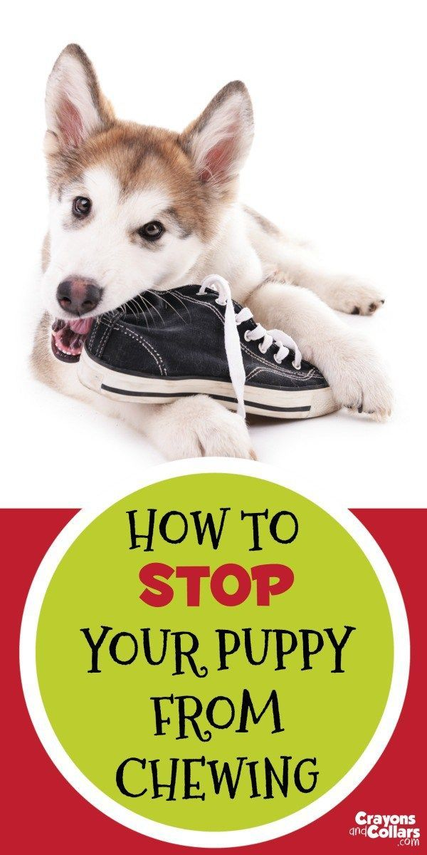 Your puppy may be cute but he's chewing everything in sight! Here are some easy tips to help stop your puppy from chewing things you don't want him to.    Puppies | Puppy behavior | Puppy training | Dogs | Dog training | dog chewing | dog behavior |  @KaufmannsPuppy