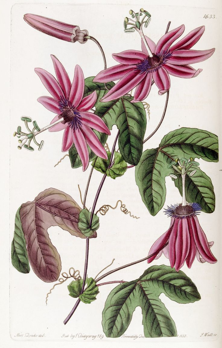 Passiflora kermesina - circa 1835 - 4 inch flowers with bright pink petals and bluish-violet filaments - They are held outward on long stems