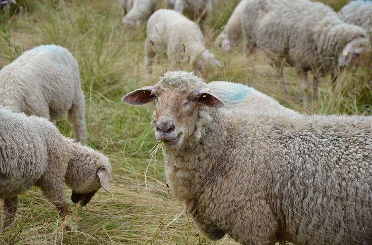 Najlepszy regionalny wypas!  http://puszystaowca.pl/wypas-owiec-jozefow/
