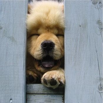 i just adore chow-chows