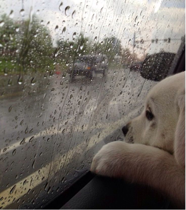 Lab puppy looking at the rain