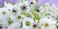 https://www.sarahraven.com/gypsophila_elegans_covent_garden.htm
