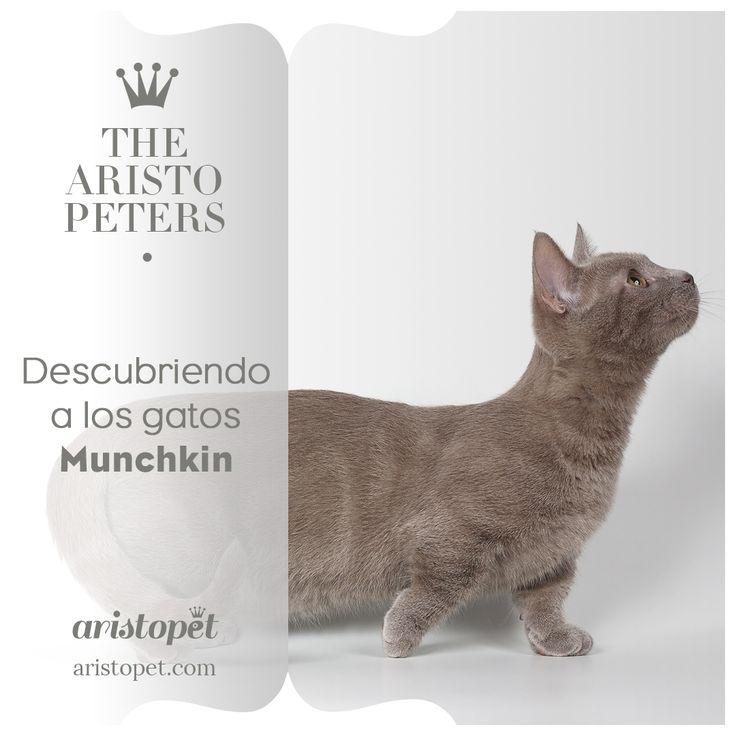 🐈 Los gatos Munchkin son adorables, graciosos, juguetones y muy sociables. Pero ¿Sabes de dónde viene esta raza tan particular? ¿A qué se debe esa curiosidad que sentimos sobre estos ARISTOGATOS? 🐾 Descubre más aquí ➡️️ http://bit.ly/2ktC770