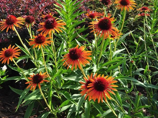 Want perennials that like sun bathing? Grow these high-powered beauties!