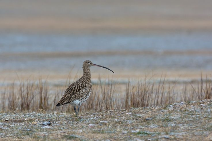 Zarapito real / Eurasian curlew / Numenius arquata by Juan Carlos Fajardo Juan on 500px