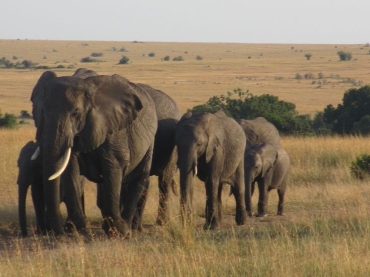 Elephants in the afternoon at Masai Mara