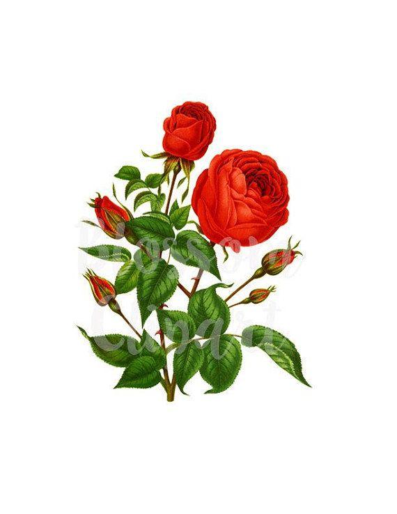 Vintage Rose Png Jpg Rose Botanical Print Clipart Digital Etsy Botanical Prints Vintage Roses Flower Illustration