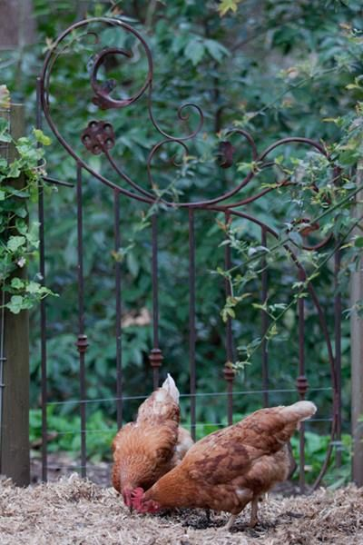 Use a wrought iron gate to create a feature at the back of your garden. This gate separates the chickens from the rest of the garden. Stirling, Adelaide hills, South Australia