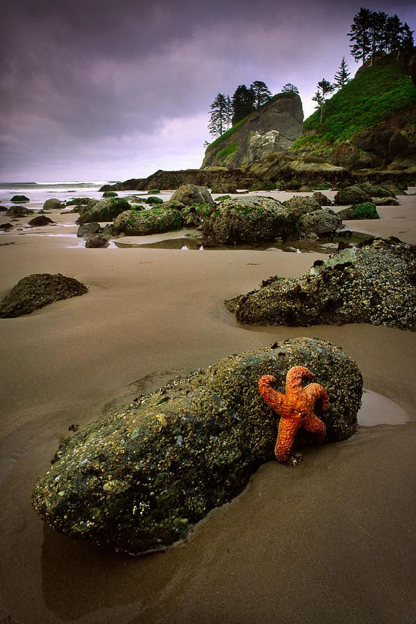 Starfish on a rock in Olympic National Park at low tide, near Point of the Arches, Pacific Ocean, Washington State