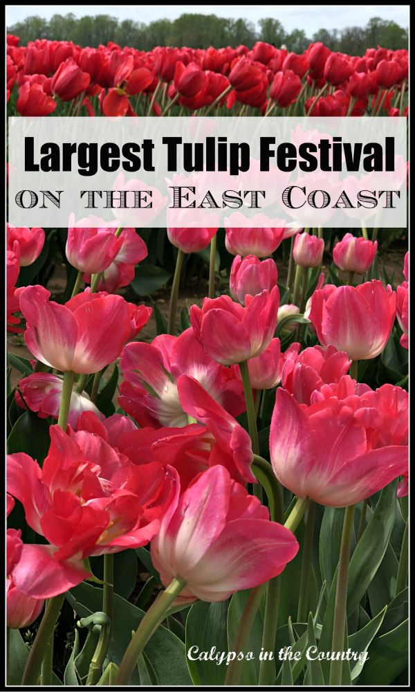 Largest Tulip Festival On The East Coast Stunning Photos Of A Tulip Farm In New Jersey Mustsee Roadt Tulip Festival Family Friendly Vacation Spots Tulips