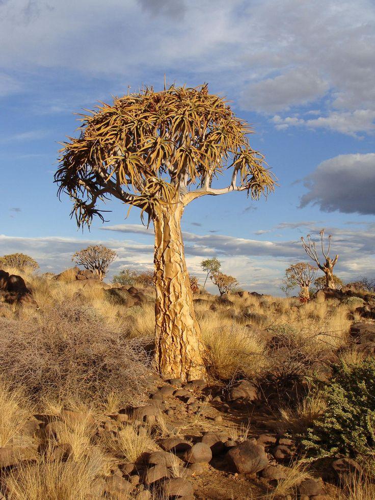 quivertree by Paul Atreides. Namibia.