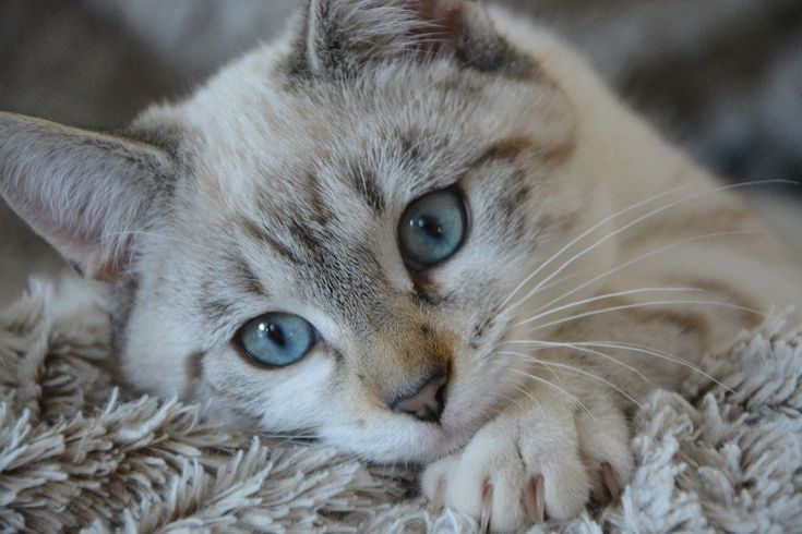Essential Oils for Cats (Aromatherapy and Safety)