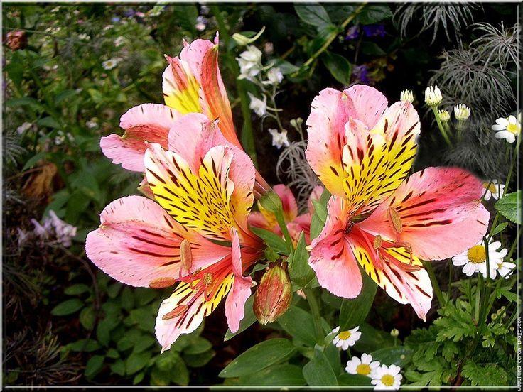 Alstroemeria Flower Picture 3