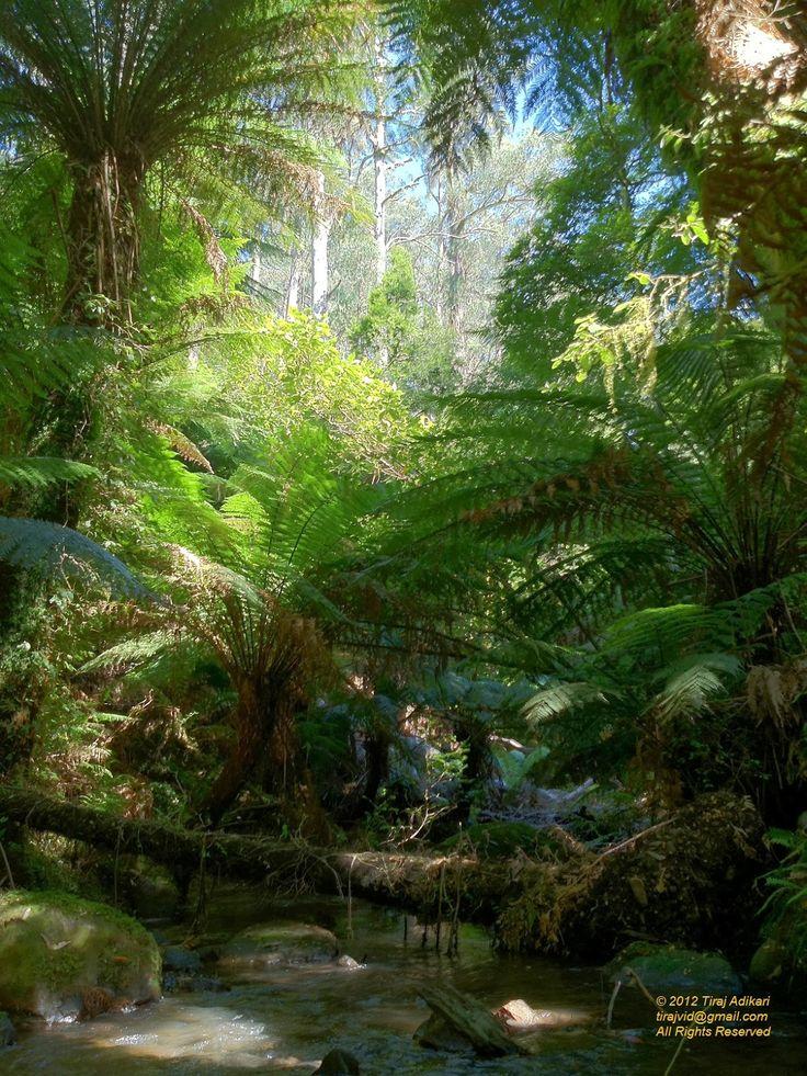Tarra Bulga National Park, Gippsland, Victoria, Australia Parks ...