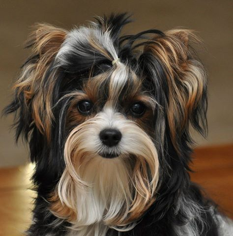 .beauiful Biewer Yorkie Terrier Dog, what a lovely colour, not seen one this colour before<3
