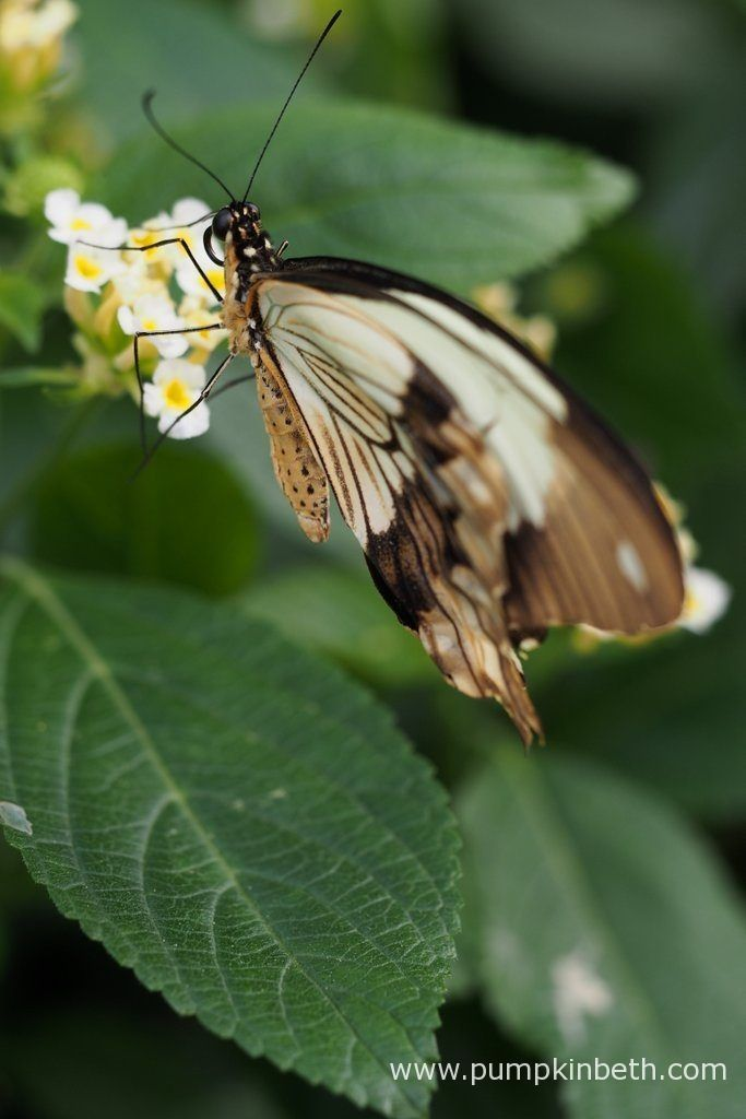 The Mocker Swallowtail, also known by its scientific name of Papilio dardanus, is a species of butterfly in the family Papilionidae. Pictured inside the Butterfly Dome, at the RHS Hampton Court Palace Flower Show 2017.