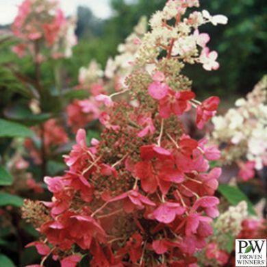 Shrub Source - Hydrangea - Pinky Winky Hardy, $16.99 (http://shrubsource.com/shop-all-shrubs/hydrangea-pinky-winky-hardy/)