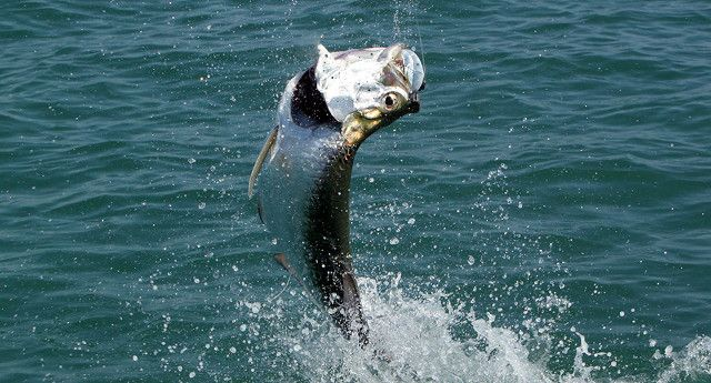 120 best tampa bay fishing charters images on pinterest for Deep sea fishing bay area