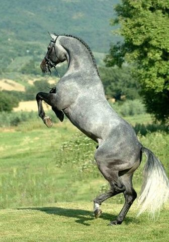 The most beautiful horse breed to me: Holsteiner- a german warmblood. Someday this hot boy'll be mine <3