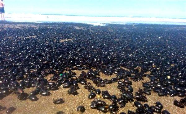 Terrorífica invasión de escarabajos a una playa argentina: Impresionantes imágenes | Argentina