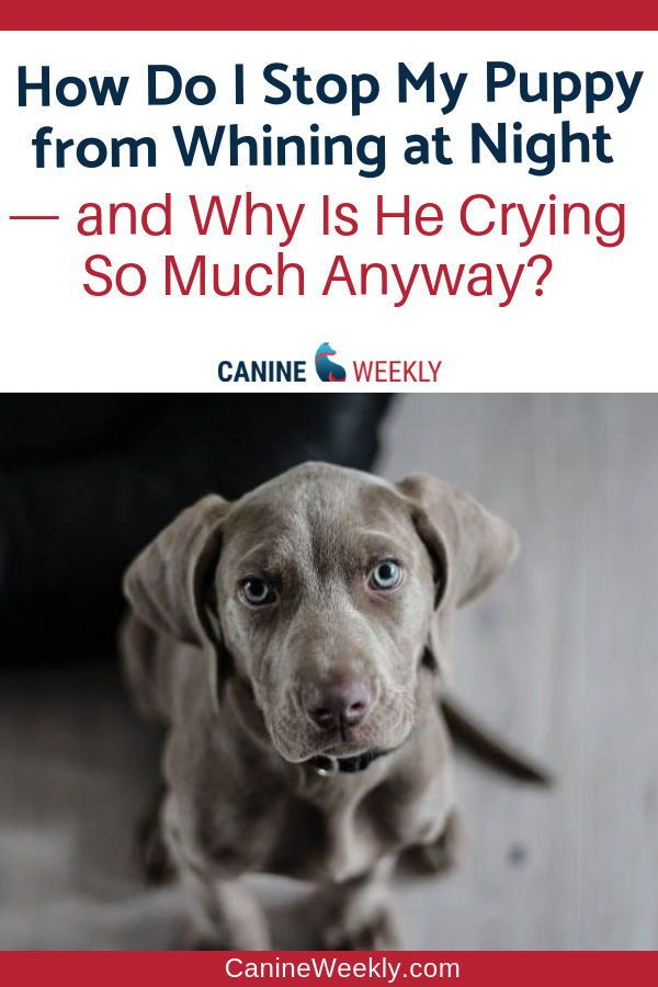 How To Train A Puppy Not To Cry In The Crate At Night Canine Weekly Puppy Whining Dog Crying Puppy Whining At Night
