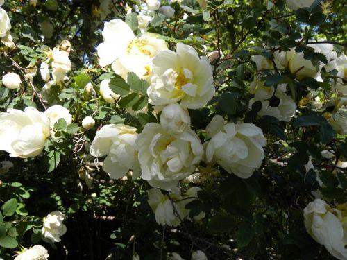 Vackra vita rosor som enbart blommar några dagar per år. Fotat av Ockelbo Webbdesign.