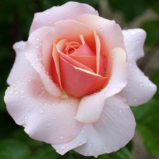 Pink roses are symbolic of gratitude and appreciation, and are a traditional way to say thanks.