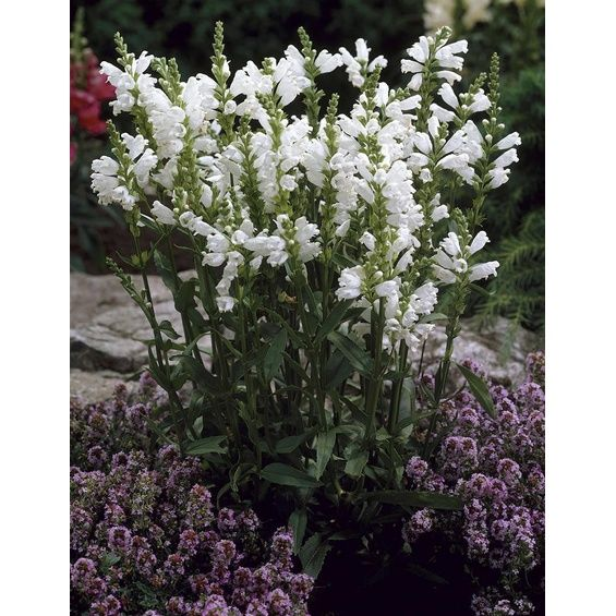"""Garten-Gelenkblume """"Schneekrone"""" Weiß Topf-Ø ca. 9 cm x 9 cm Physostegia"""