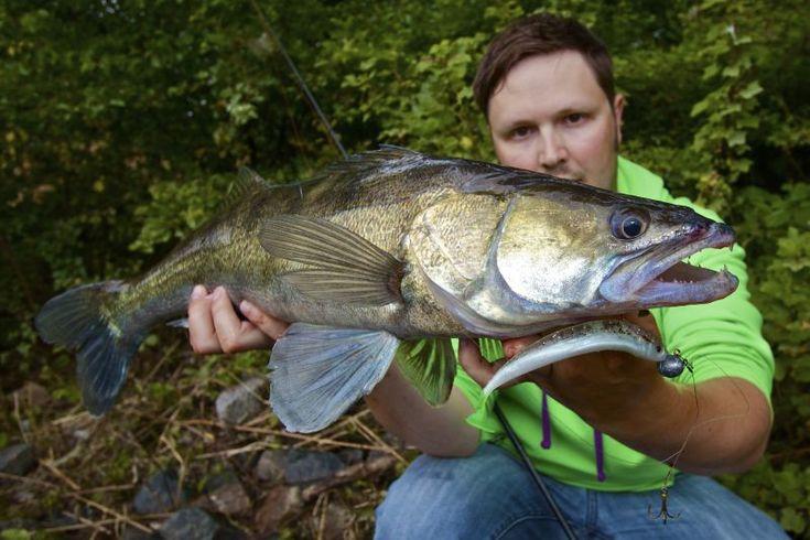 #Zander from river #Elbe near #Hamburg #Fishing #Angeln
