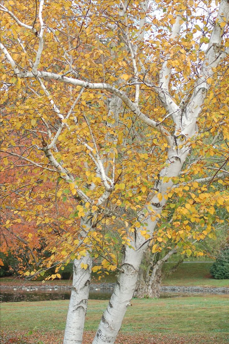 Birch trees have yellow to golden fall foliage color. The bark on some varieties is a nice bonus, carrying over interest into the winter. River birch and paper birch are both valued for their exfoliating bark: http://landscaping.about.com/cs/fallfoliagetrees/a/fall_foliage4.htm