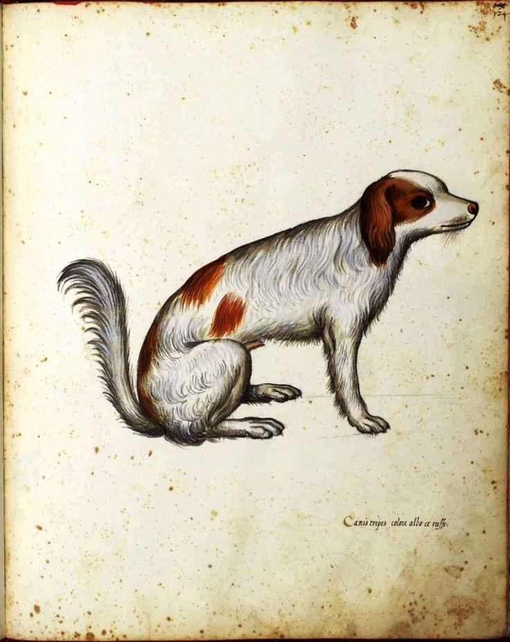 Animal - Dog - English Water Spaniel - Italian