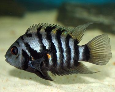 Convict Cichlid Fish - The Care, Feeding and Breeding of Convict Cichlids