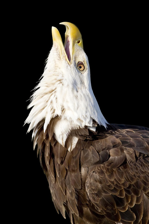Once you hear the scream of an eagle you will never forget it!