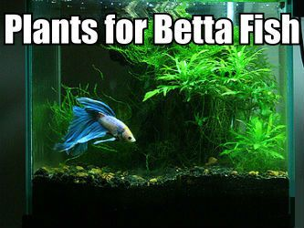 Plants for Betta fish – Find live plants that are good to put in ...                                                                                                                                                                                 More