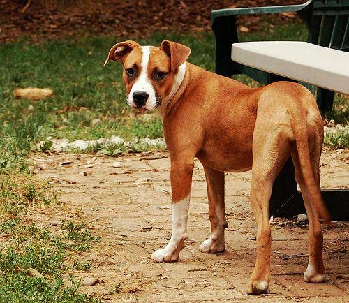 pitbull + boxer mix