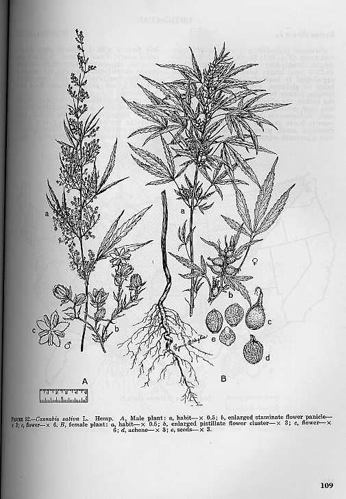 Hemp, Cannabis sativa L.   A, Male plant: a, habit - x0.5; b, enlarged staminate flower panicle - x3; c, flower - x6. B, female plant: a, habit - x0.5; b, enlarged pistillate flower cluster - x3; c, flower - x6; d, achene - x3; e, seeds - x3.  1970