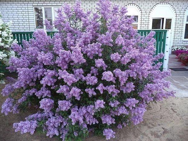 Image result for lilac shrubs in landscaping