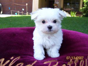 oh my goshhhhh! maltese are the cutest little dogs! makes me miss my bentley :(