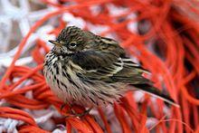 Meadow Pipit - Wikipedia, the free encyclopedia