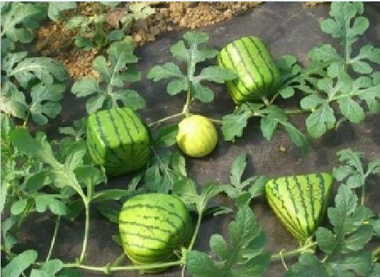 Free shipping new 2013 5 kinds square watermelon seeds heart triangle cylindrical circular fruit seeds home garden plants bonsai