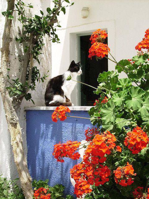 Cat of Santorini  , Greece