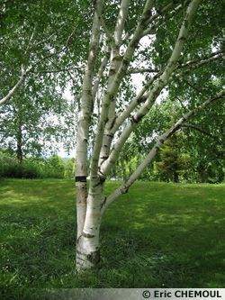 best 25 betula pendula ideas on pinterest white bark trees trees with white bark and. Black Bedroom Furniture Sets. Home Design Ideas