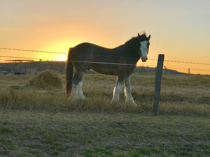 Clyde - Clydesdale Horse