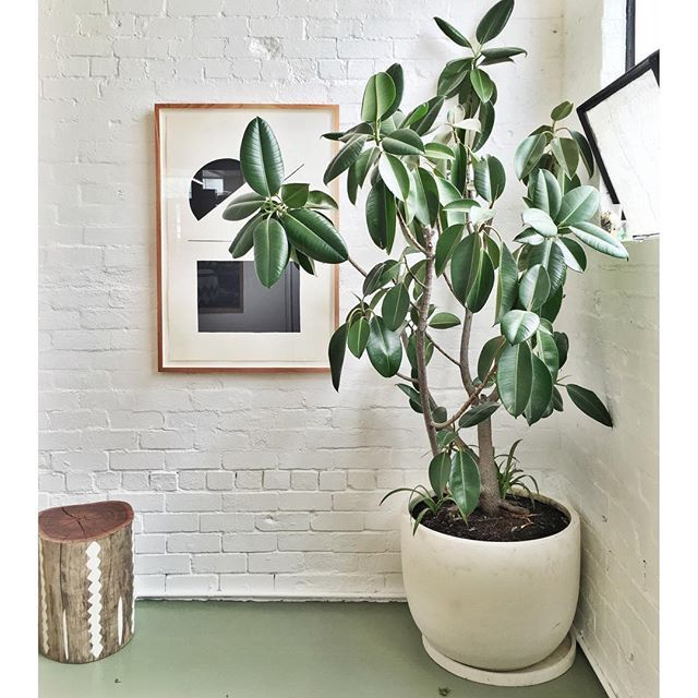 17 best images about ficus 39 on pinterest for Low maintenance potted plants indoor