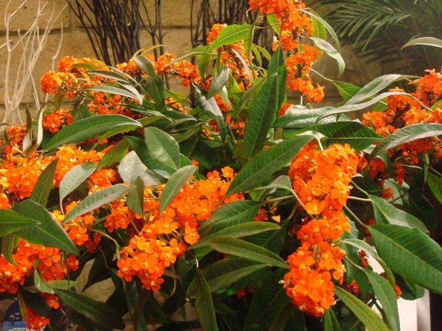 Euphorbia fulgens #plantas
