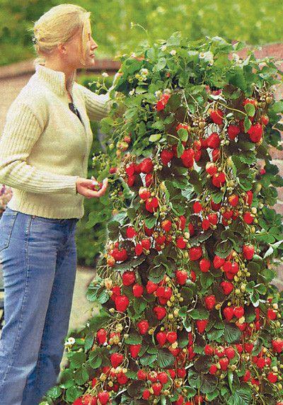 Опыт выращивания земляники на шпалерах